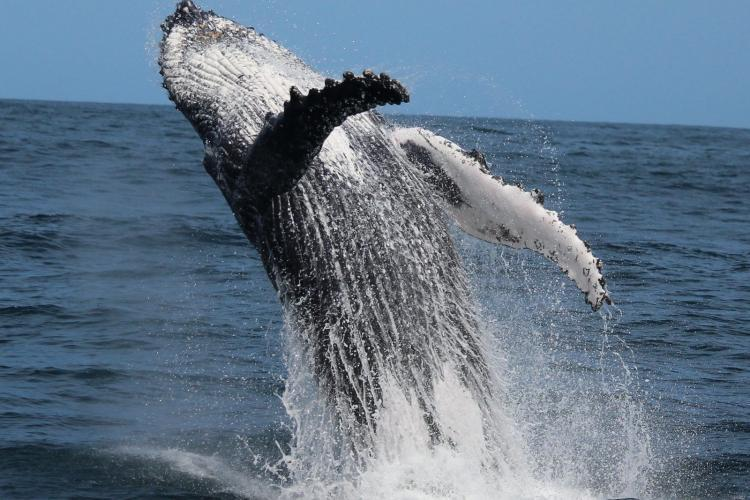 Breaching whale in South Africa