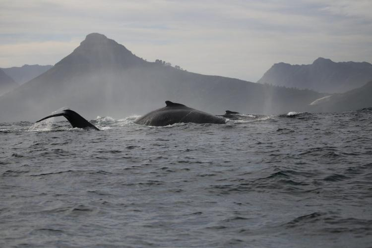 Whales in Cape Town and mountain scenery