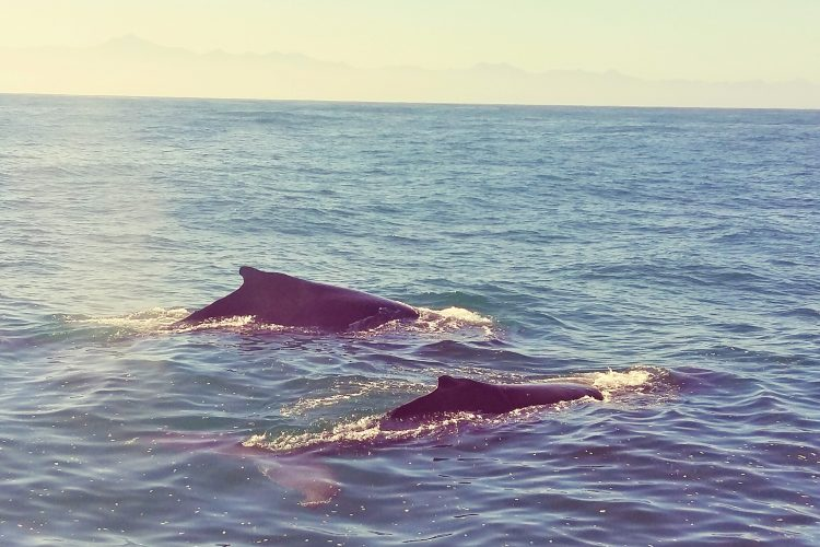 Humpback dolphin research in South Africa