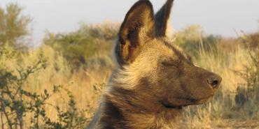 Wild African dog in Mangetti Namibia