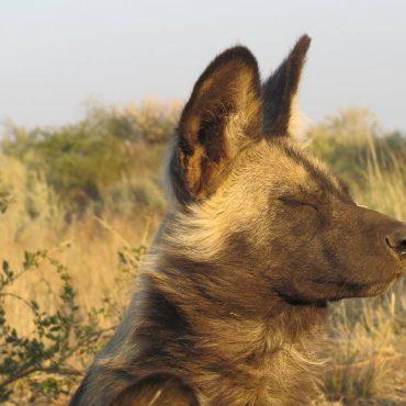 Wild African dog in Mangetti Namibia