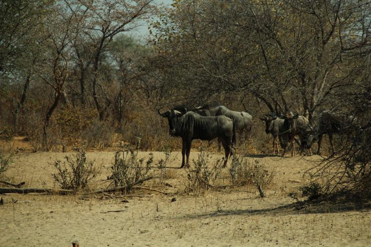 Wildebeest in Namibia