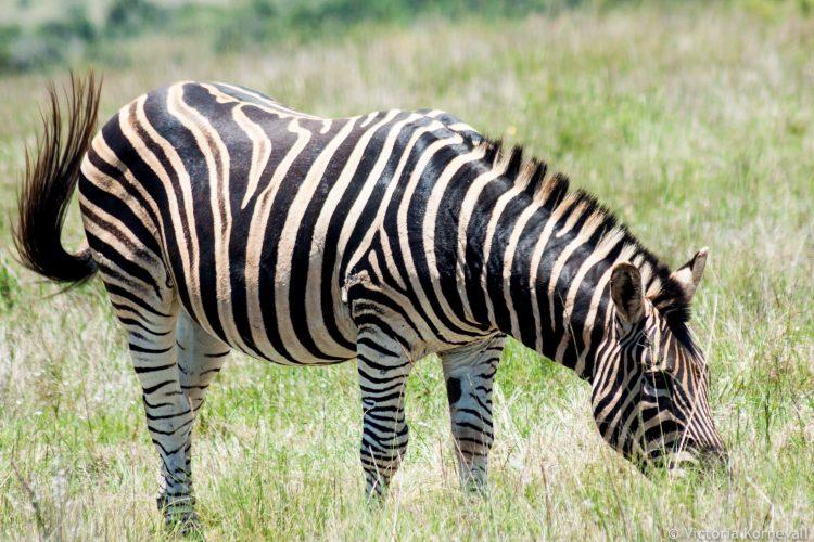 Zebra grazing at Shamwari game reserve in South Africa
