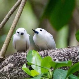 Fairy terns Seychelles