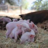 Volunteers Go Vegan – Protecting Farmed Animals in Northern California