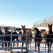 Volunteering in Canada – Taking care of horses in need