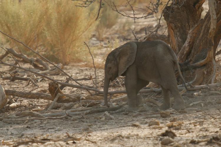 Baby elephant in the Namibia desert