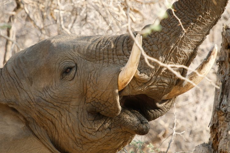 Elephant bull stretching up to eat leaves in Namibia