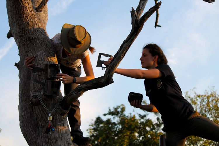 Volunteer setting up camera trap in Botswana
