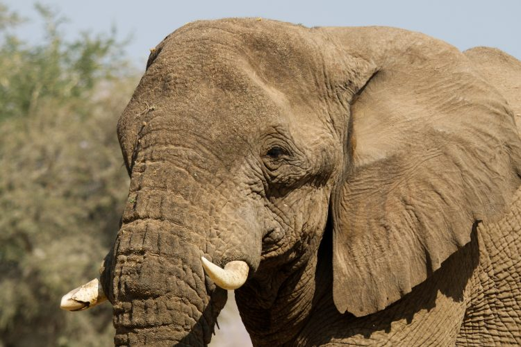 Close up photo of elephant face in Namibia