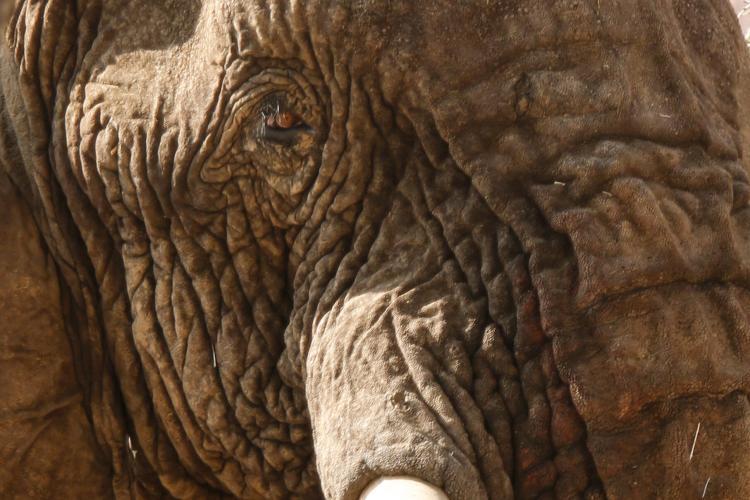 Close up of elephant bull tusks and eyes