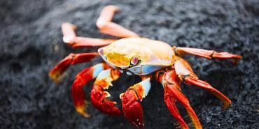Crab in Cuba