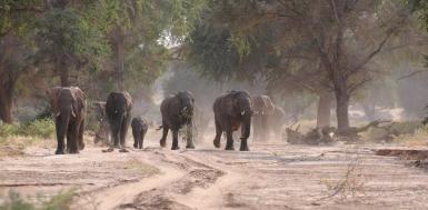 Elephant herd walking through dried up riverbed in Namibia