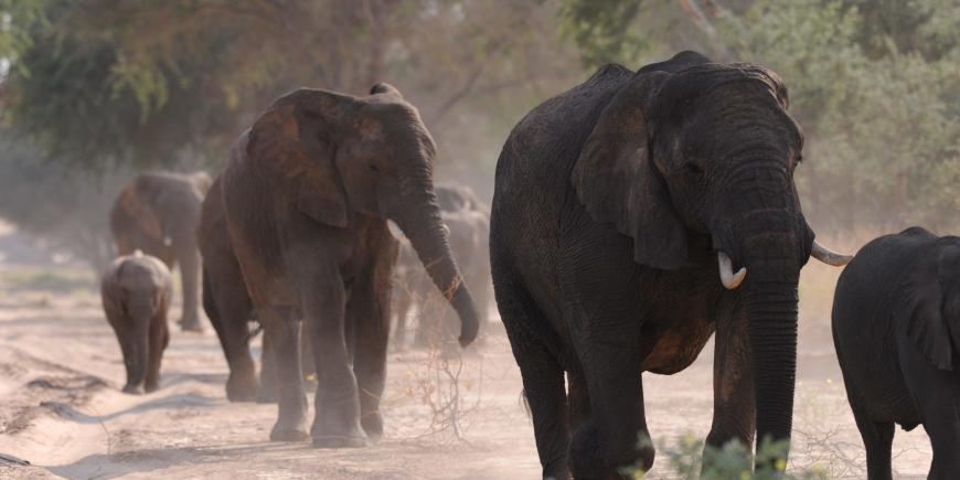 Elephants walking up the dry riverbed of the Huab river in Namibia