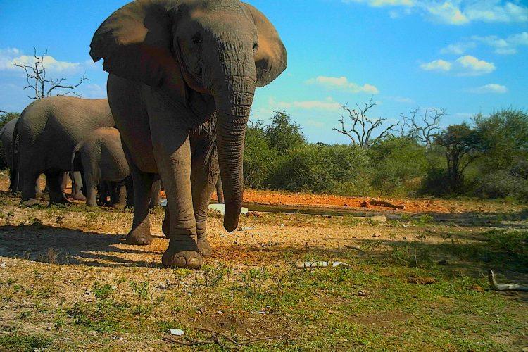 Elephant in Botswana on camera trap