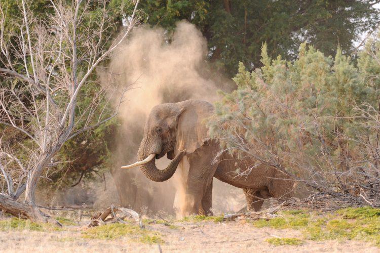 Elephant in Namibia having a dust bath
