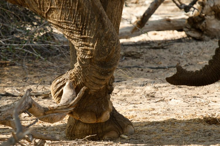 Elephant feet and trunk in Namibia