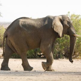 Elephant walking in Namibia