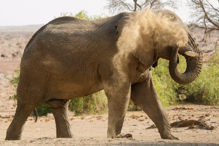 Elephant having a dust bath in the desert in Namibia