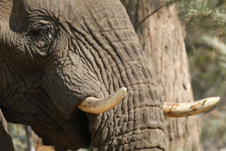 Elephant tusk and trunk in Namibia