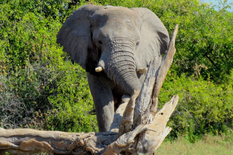Elephant research at Limpopo