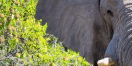 Elephant face in Botswana