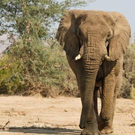 Elephant walking towards vehicle