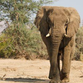 Elephant approaching volunteer vehicle in Namibia