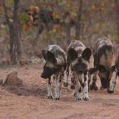 Limpopo Lipadi Game Reserve Volunteer Programme, Botswana