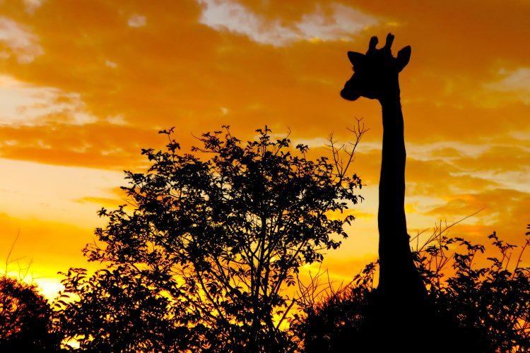 Silhouette of giraffe at Limpopo Lipadi Game Reserve