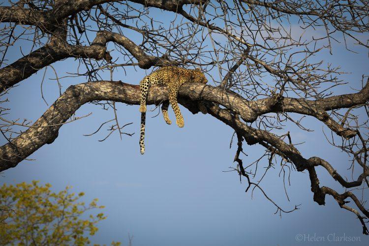 Helen volunteering with leopard research in Botswana