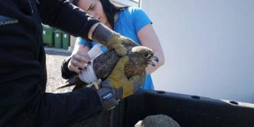 Volunteers rescuing falcon in Iceland