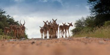 Impala group on the road in Botswana