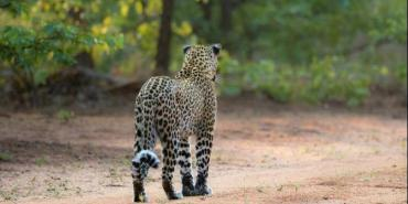 Leopard walking away from volunteers