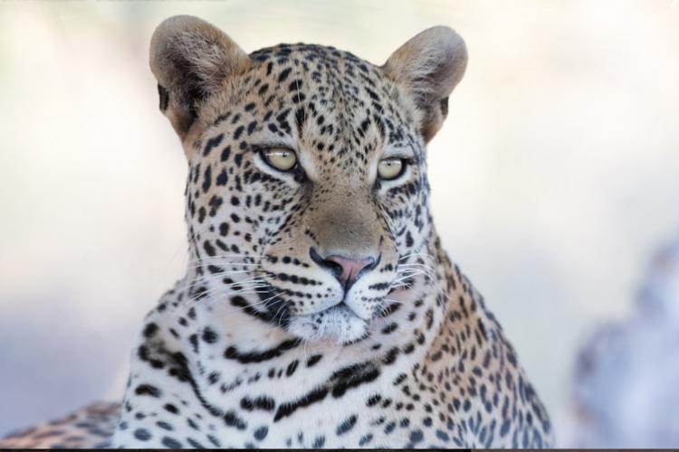 Leopard close up in Botswana