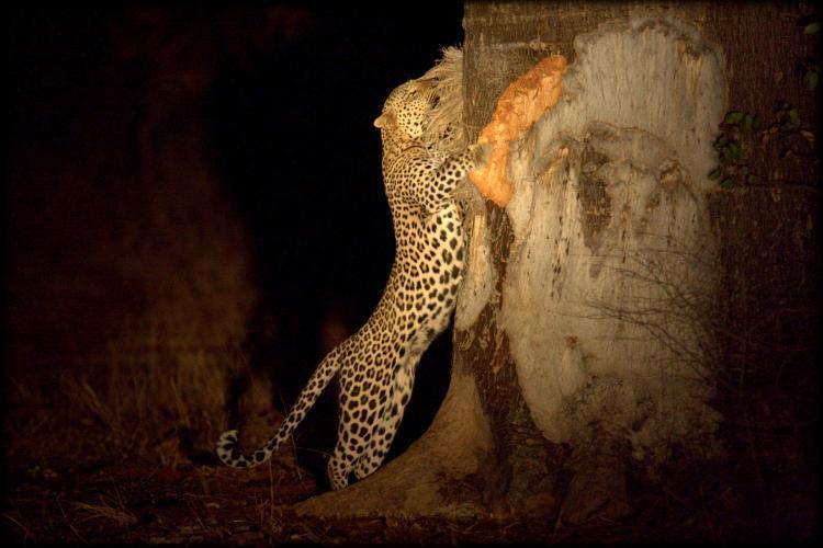 Leopard climbing tree in Botswana