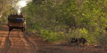 Wild dog crossing road in Botswana