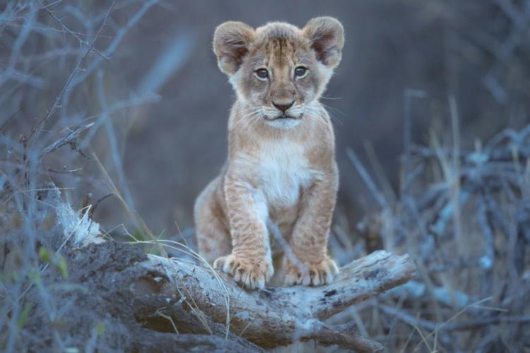 Lion cub sitting on branch in Botswana