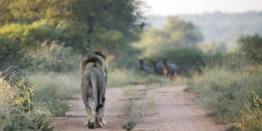Male lion walking on road in Botswana
