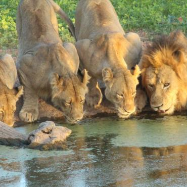 Lion pride drinking water from a waterhole at Limpopo Lipadi Game Reserve
