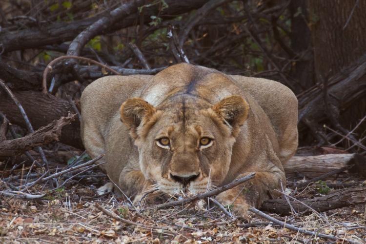 Lioness staring at camera in Botswana
