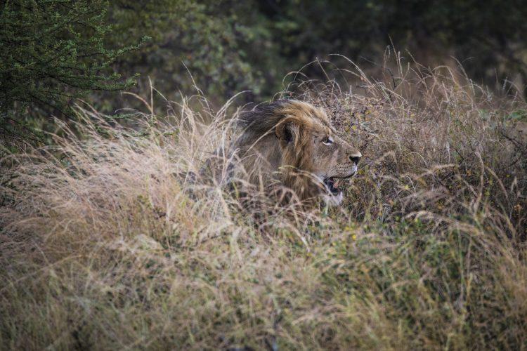 Male lion hiding in long grass in Botswana