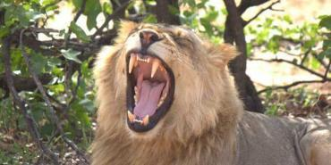 Male lion growling in Botswana
