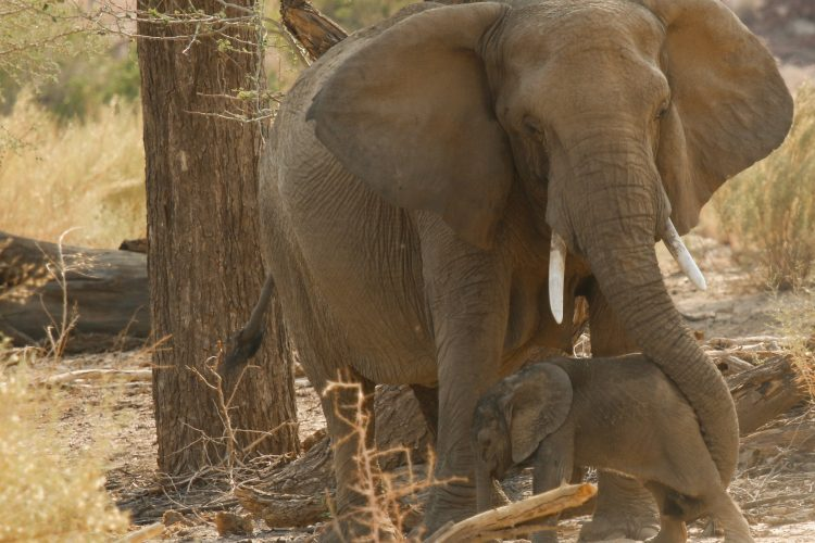 Mother and baby elephant in Namibi desert