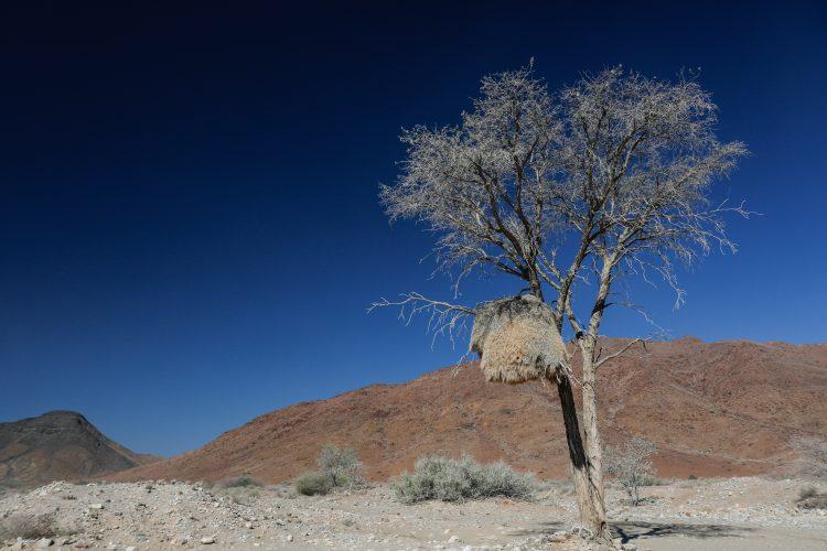 Sociable weaver nest on side of road in Namibia