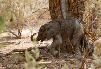 Tiny baby elephant walking alone in Namibia