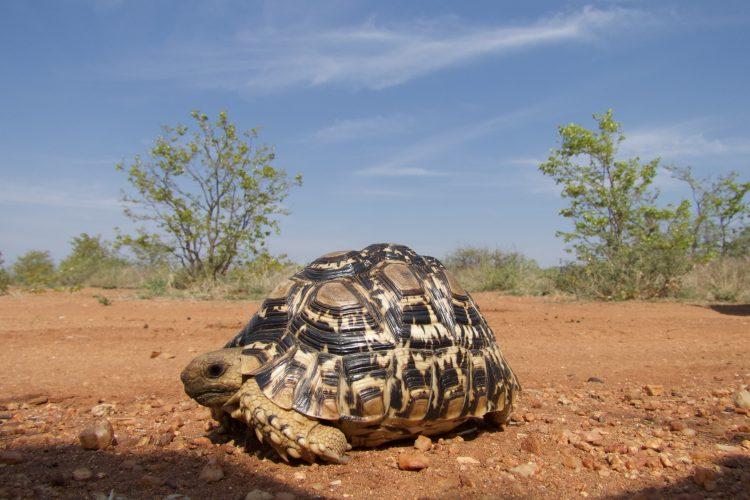 Tortoise at Limpopo Lipadi Game Reserve