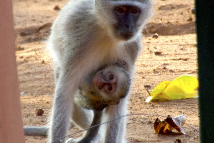 Vervet monkey and baby in Limpopo