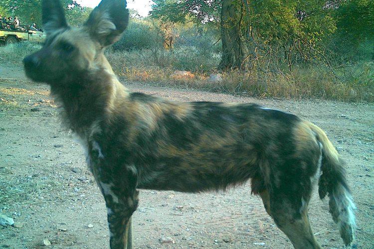 Wild dog caught on camera in Botswana