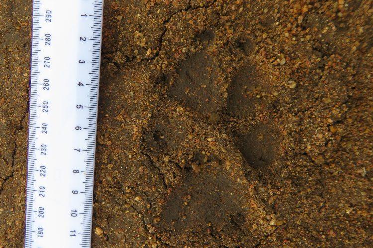 African wild dog track on sand in Botswana